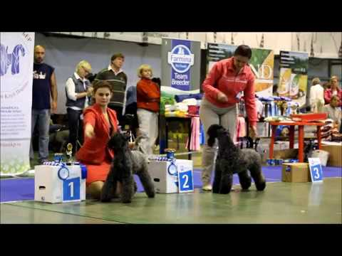 Kerry Blue Terrier Show, National Championship 2016_part 7 (females-Champion class)