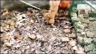 Funny Chicken vs Dog Fight Videos - 2019