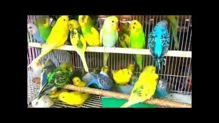 صوت تزاوج طيور الحب & البادجي لتحفيزها