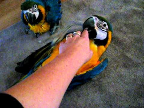 blue and gold macaw parrots youtube