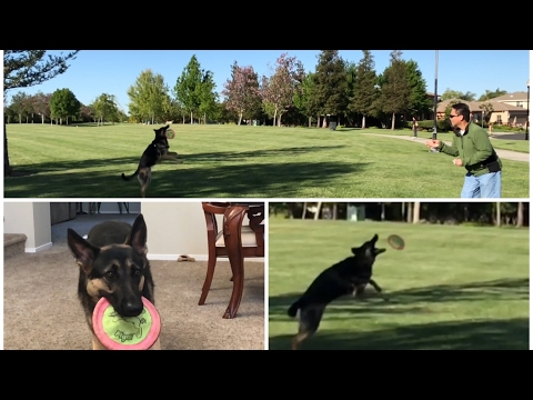 How to Catch a Frisbee Dog Training - Teach German Shepherd Teach a dog How to catch a frisbee