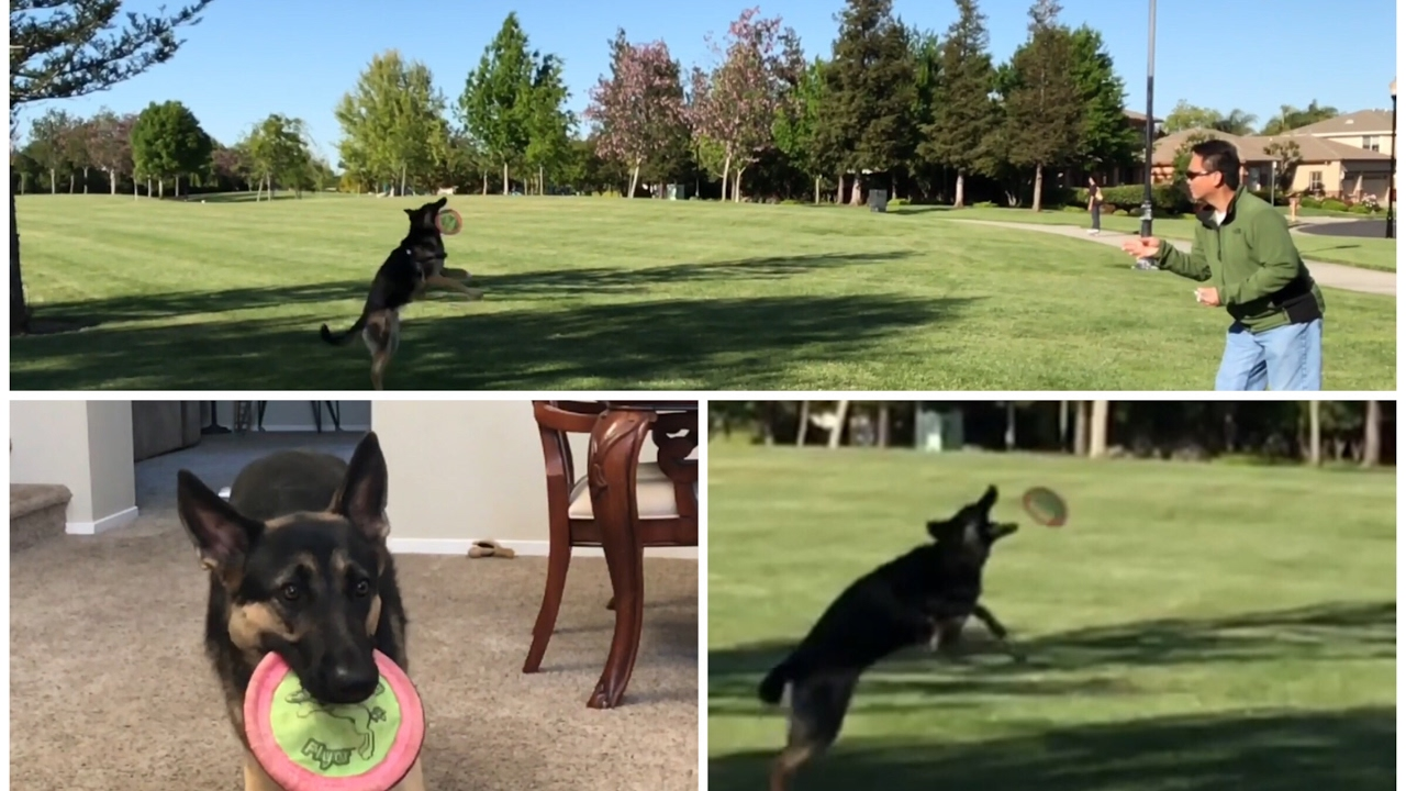 How To Catch A Frisbee Dog Training  Teach German Shepherd How To Catch A  Frisbee Gsd Kara Train