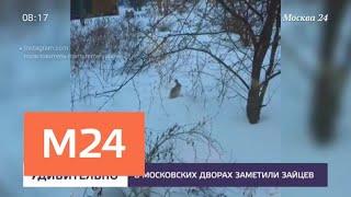 Смотреть видео В столичных дворах появились зайцы - Москва 24 онлайн