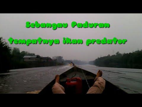Casting Ikan Kerandang Dan Ikan Toman   Sungai Sebangau Kalimantan Tengah.