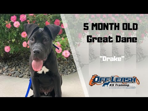 great-dane/dog-training