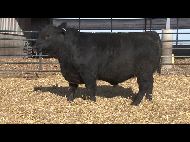 Schiefelbein Angus Farms Lot 2