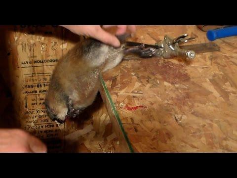 Вопрос: Как называется детеныш ондатры?