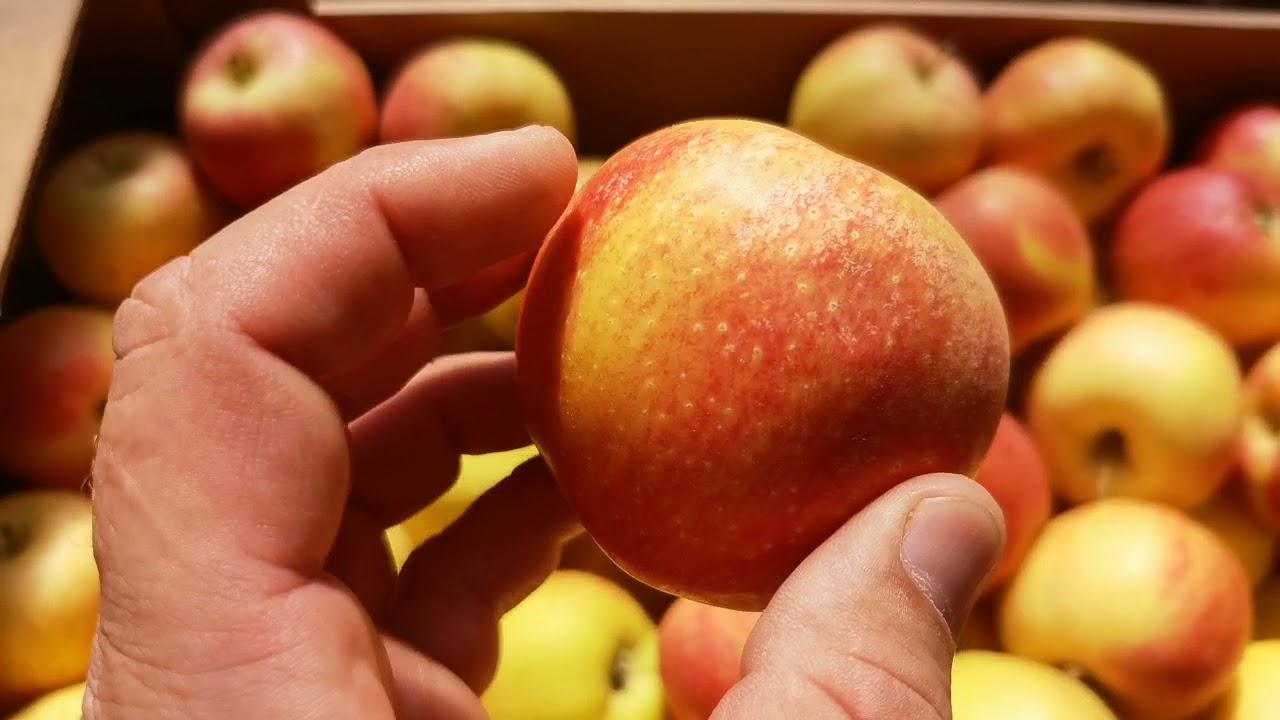Яблоки оптом. Гала Шнига 60+ (2 сорт). РостАгроЭкспорт