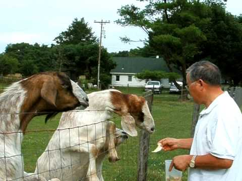 DSCF4919 07.11.09 Friendly goats fed by Rev. C. Kim