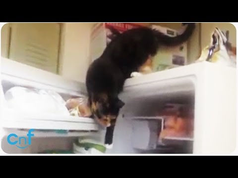 Sneaky Cat Steals Fish | Lock Your Freezer