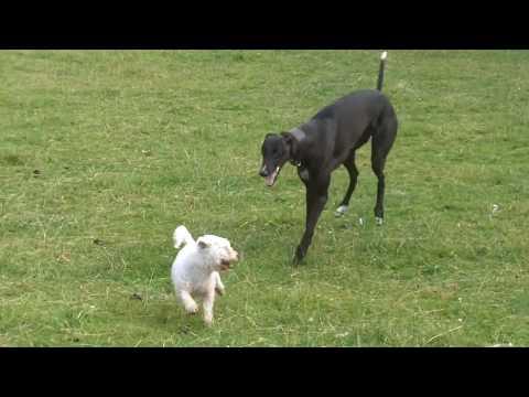 Greyhound Oscar. xx