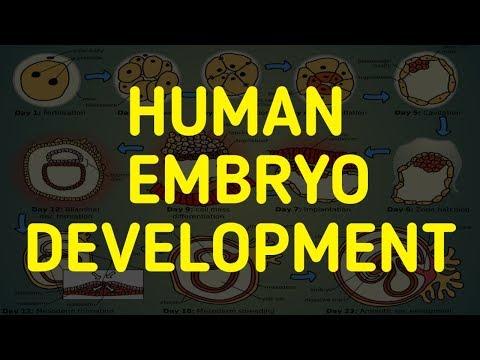 Fertilization, Zygote, Morula, Blastula, Gastrula, Embryo, Fetus, Infant, Toddler, Child Development
