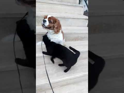 King Charles Cavalier with cat