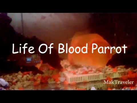 Life Of Blood Parrot Fish | Mating Of Parrot Fish | How Lay Eggs Parrot Fish