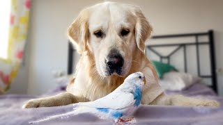 Dog Meets a Budgie for the First Time