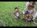 pity tree baby monkey feeds from one mom in siem reap angkor cambodia th 04