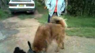 Bubba Nsw Tibetan Mastiff