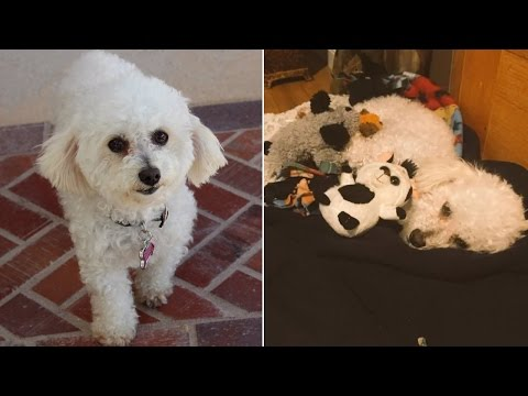 537215b82ef2 Dog Depressed Over Loss of Puppies Treats Stuffed Animals Like Her Children  - YouTube