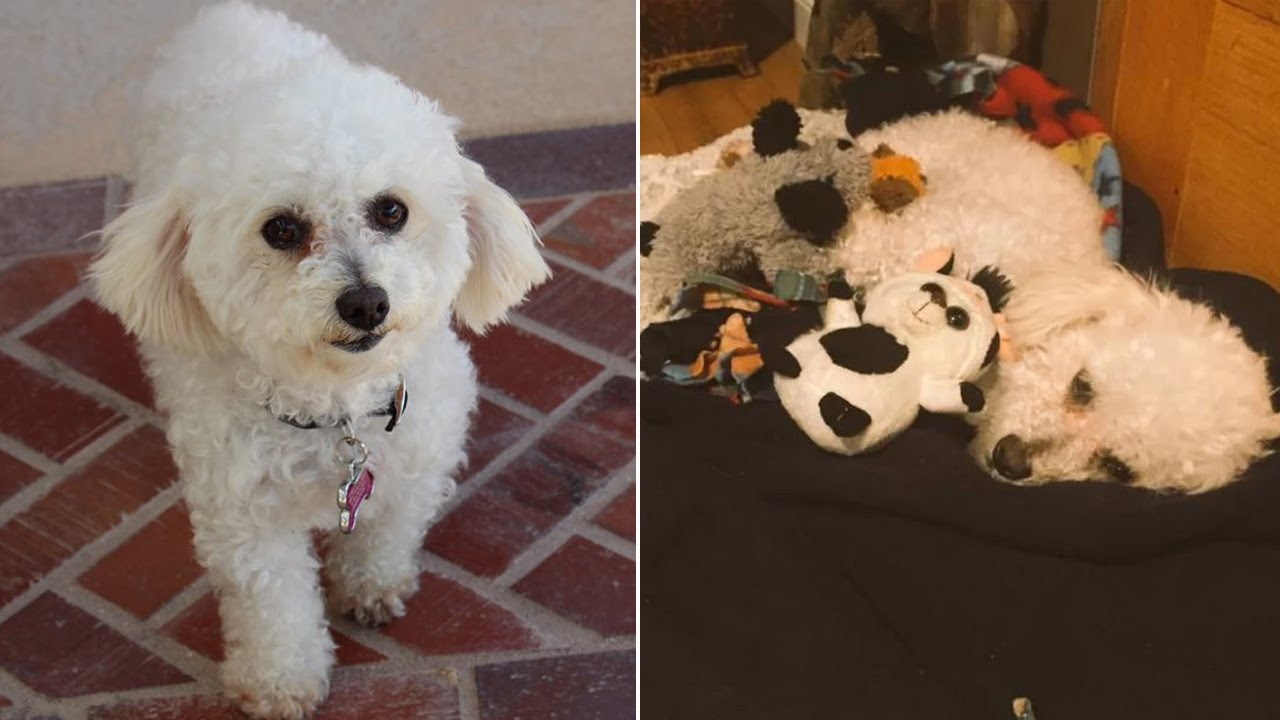 3d4b3b82cdb5 Dog Depressed Over Loss of Puppies Treats Stuffed Animals Like Her Children