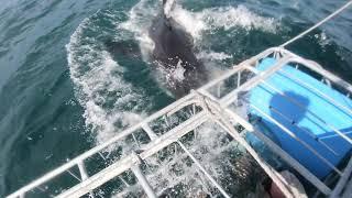 IRADIMA Большая белая акула хватает наживку
