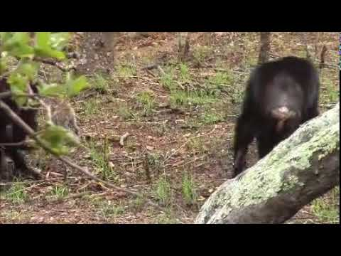 Issa chimpanzees capture klipspringer
