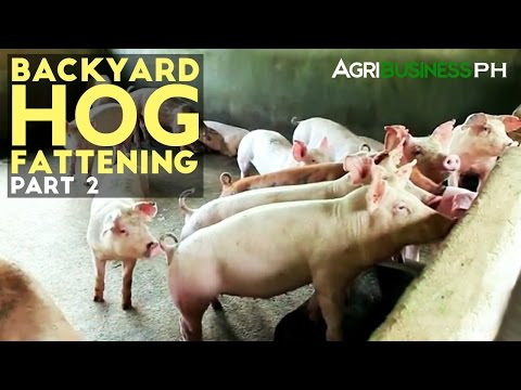 Backyard Hog Fattening Part 2 : Hog Fattening Management | Agribusiness Philippines