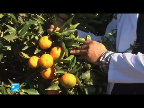 مدينة بركان.. عاصمة البرتقال والحوامض بالمغرب  - نشر قبل 2 ساعة
