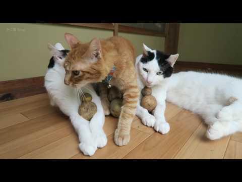 のせ猫 x 3つのだるまじゃがいも potato