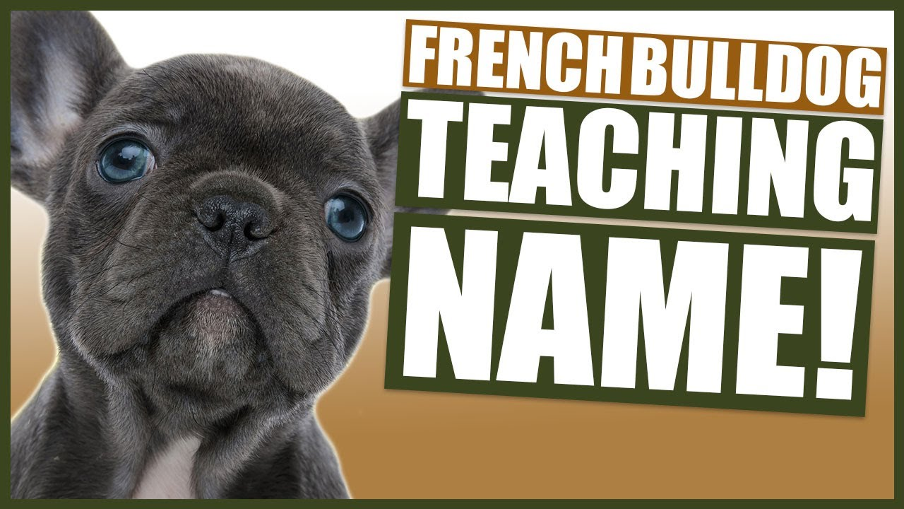 PUPPY TRAINING - Teaching FRENCH BULLDOG Their Name