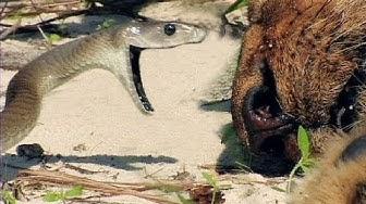 Black Mambas 07, Mamba vs Lion