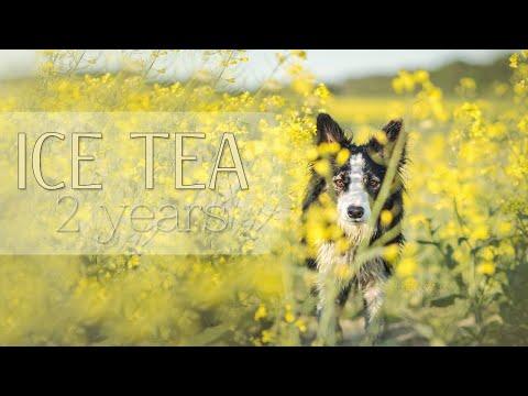 Ice Tea 2 years 🎂 Border Collie