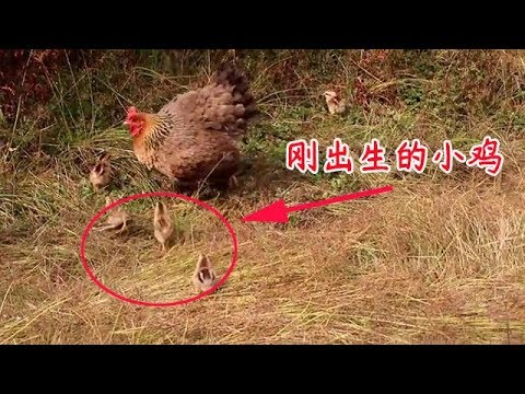小伙山里養雞,今天又有7隻小雞孵出來了,以後不用花錢買雞苗了【石頭記事】