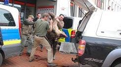 Wildschweine in Heide: 70-Kilo-Keiler randalierte in der Sparkasse
