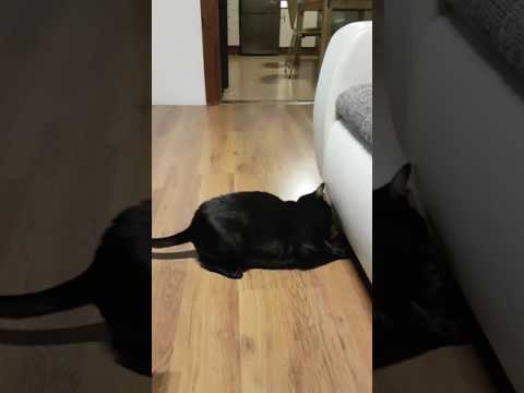 Oriental Cat acting like dog