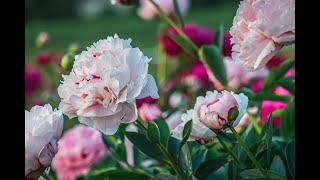 Чем подкормить пионы во время цветения, а также до него и после?