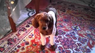 Щенок сеттера оделся на зиму. puppy clothes, Irish Setter