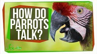 How Do Parrots Talk Like Humans?