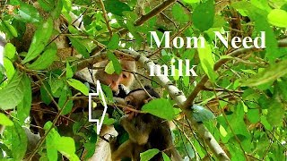 BABY MONKEY CRYING !!! Mom hungry milk , Why mom Block milk on her baby Like this? |