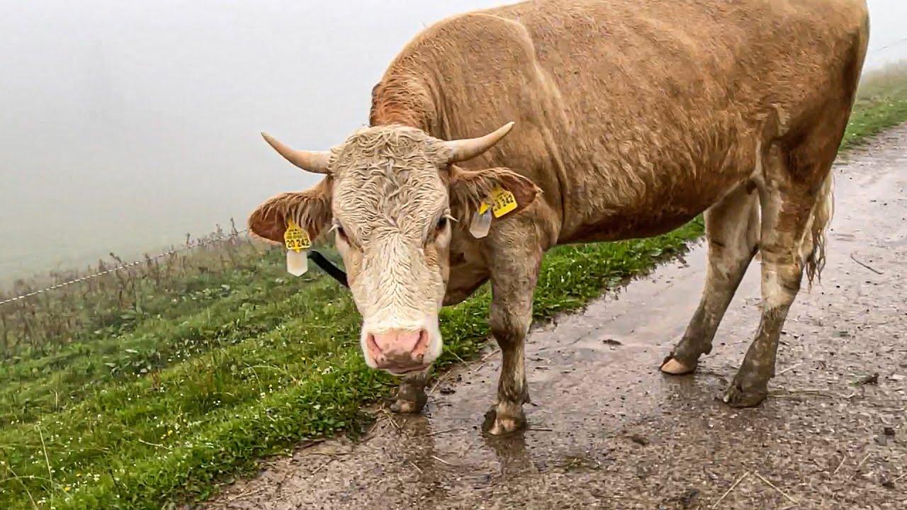 Paluten hat Angst vor einer Kuh.
