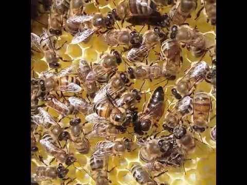 Boz Qafqaz ana arı 2016