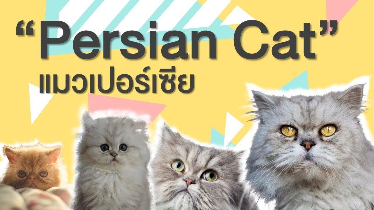 EP 2 : ประวัติ ที่มา ลักษณะนิสัย แมวเปอร์เซีย Persian Cat