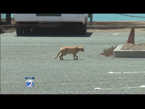 Critics call new rule to deal with Hawaii's feral cat population inhumane