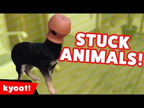 The Funniest Animals Stuck In Stuff Home Videos of 2016 Weekly Compilation   Kyoot Animals