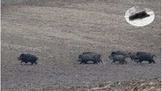 Wild Boar hunting best moments compilati...
