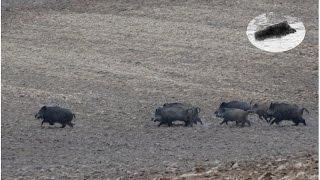 Wild Boar hunting best moments compilation. Polowanie zbiorowe na dziki - najlepsze momenty