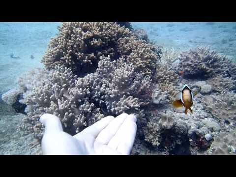 [Nemo] Amazingly Friendly Clownfish - Great Barrier Reef!