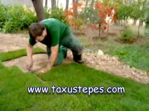 Taxustepes sedum natural en - Cesped natural ...