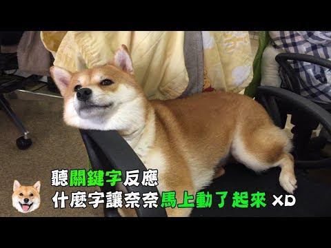 【柴犬Nana(奈奈)】奈奈聽到什麼關鍵字?讓她馬上動了起來