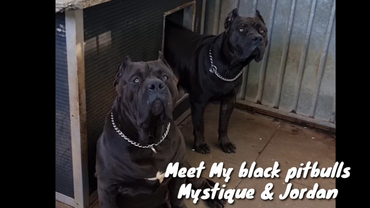 My dogs. XL American bully ( pitbulls), my black legal panthers