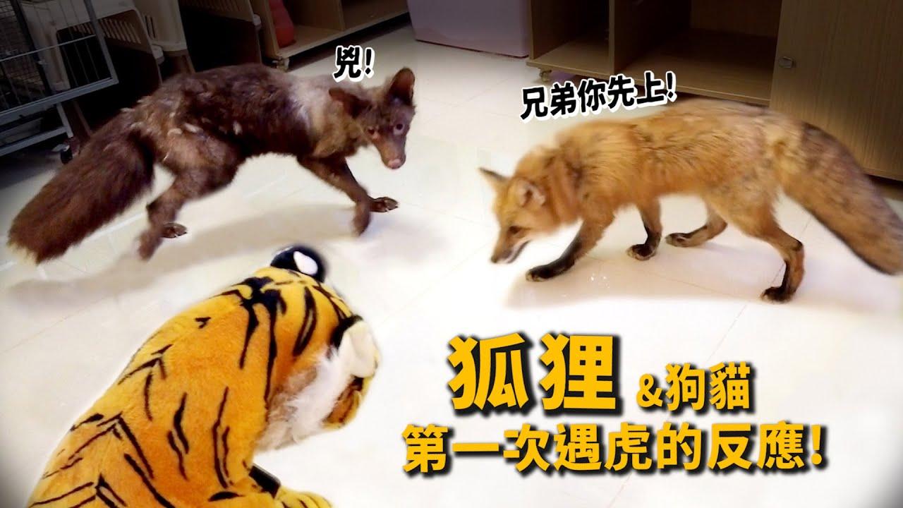 狐狸第一次見到虎的反應?狐狸狗貓新家開箱!狐狸吃秋刀魚!【許伯簡芝】【從零開始養】fox、tiger